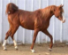 15.2+h Russian Bred Stallion