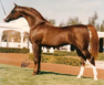 Russian Arabian Champion Stallion