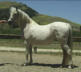 Arabian Showhorse Mare