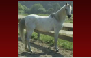 Arabian Mare from the Hearst Ranch